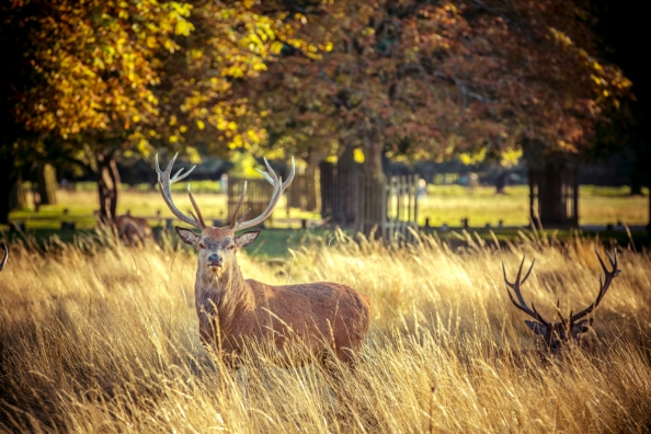 Golden Stag in Bushy Park by Cristina Schek (4)